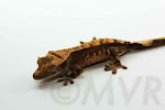Tex-Mex is a possible tricolor harlequin (Awesome-O x Sienna) from moonvalleyreptiles.com