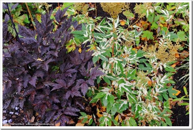 150911_AlaskaBG_filipendula-ulmaria-variegata