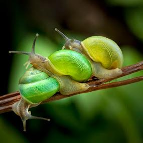 Three Snails by Jeffry Surianto - Animals Other ( snails, three, wildlife )