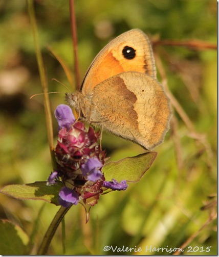 25-meadow-brown