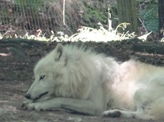 201506.21-058 loup blanc de la toundra