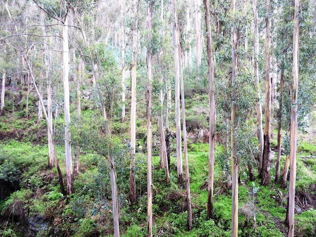 En y regardant de près, on décèle quelques écolières qui se cachent derrière ces tristes eucalyptus.