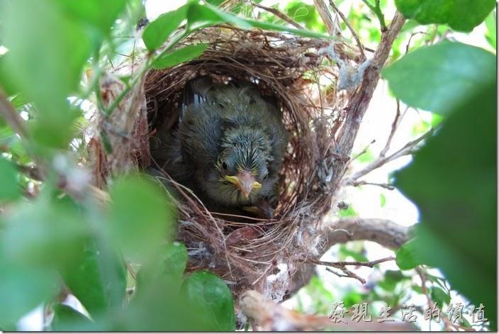 好像每次都看到這一隻綠繡眼小鳥擠在最前面,這隻應該是老大,最強壯,適者生存啊!咱也不便過問。