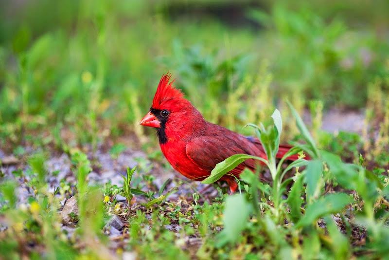 Cardinal-8561