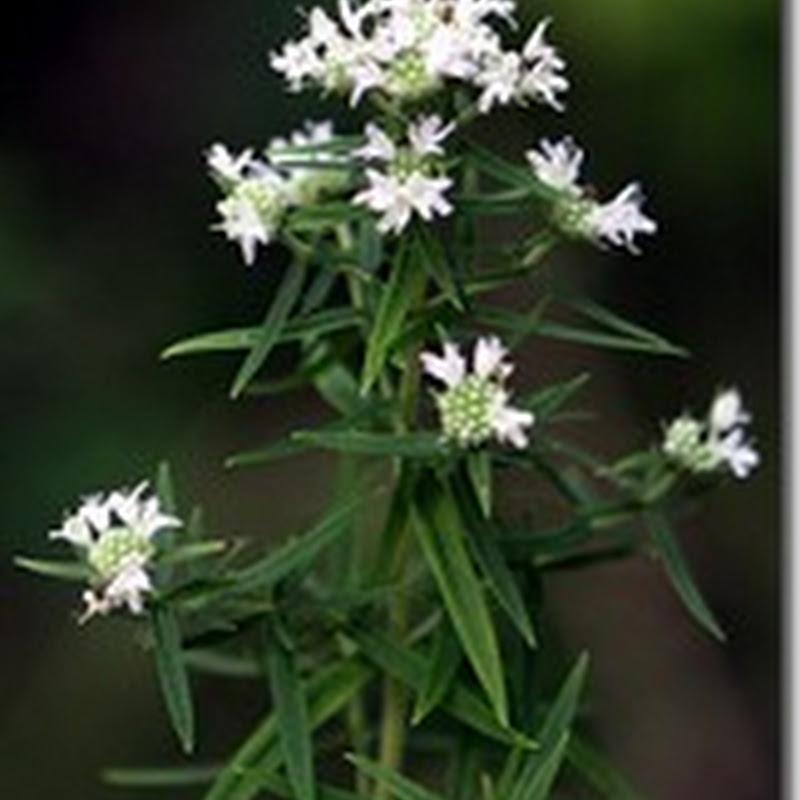 Bạc Hà Núi Virginia ( Mountain Mint Wildflower )