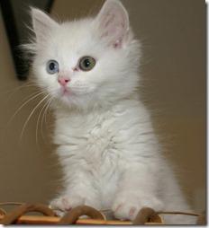 77- gatos blanco o crema (2)- buscoimagenes