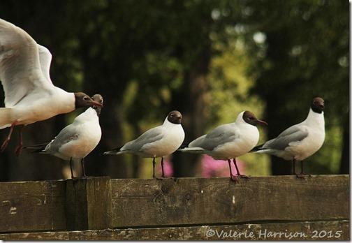 34-gulls