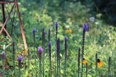 Liatris and Black eyed Susans