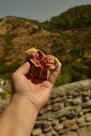 figa zerwana prosto z drzewa po drodze