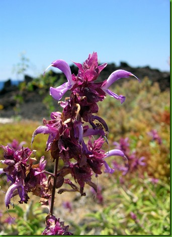 Salvia_canariensis