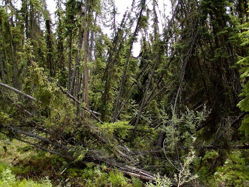 drunken-forest-3