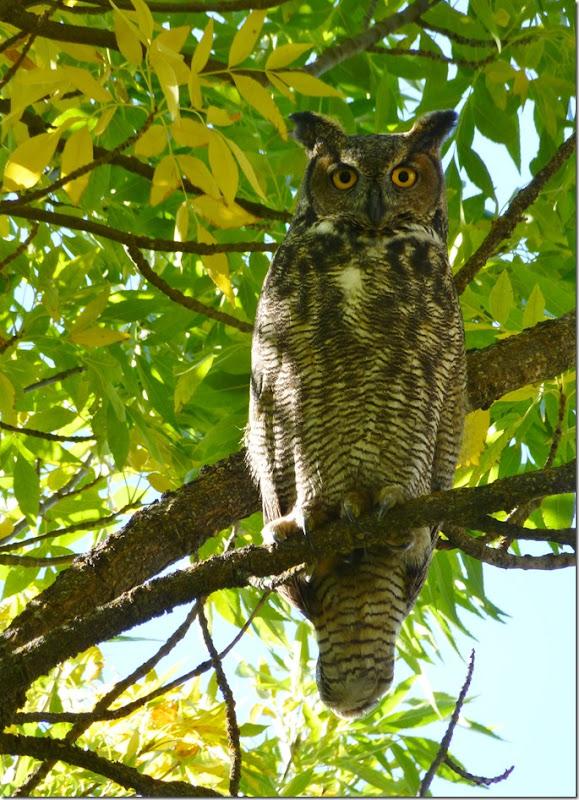 owls 003