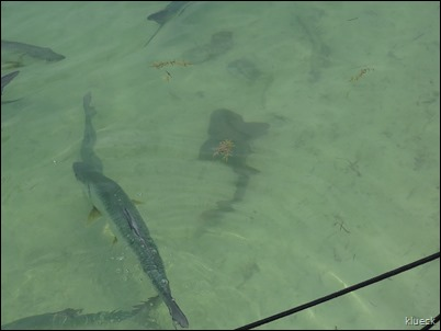 Tarpon feeding at Robbies and sharks
