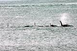 A Pod of Orcas - Kenai Fjords, AK