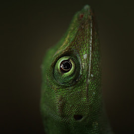 Lizard close-up by Tadas Jucys - Animals Reptiles ( wild, lizard, green, costa rica, reptile, close up, eye, animal,  )