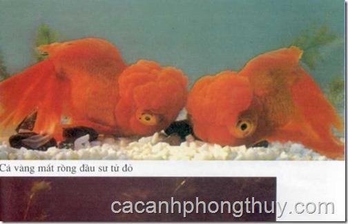 ca-vang-gold-fish-ranchu,chinese,japanese,white,reb,black (8)