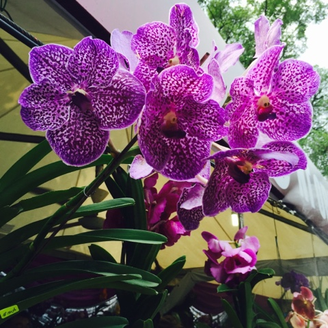 KLOBS Orchid