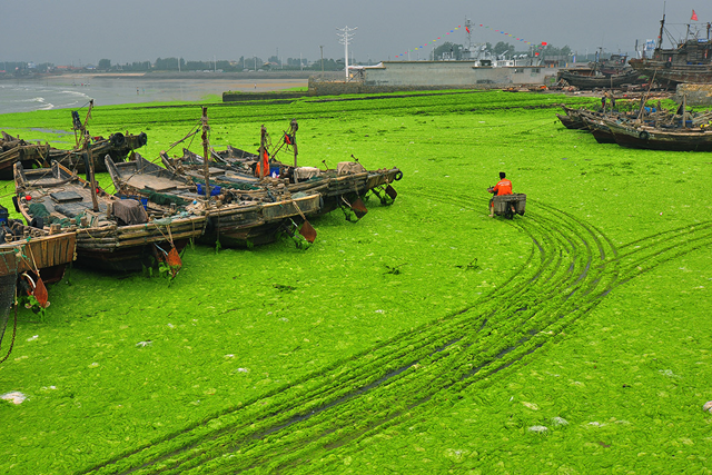 A man rides a motorbike along a beach covered in enteromorpha prolifera (green algae) in Rizhao, Shandong Province, 6 July 2015. Photo: ChinaFotoPress / Getty Images