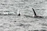 Pod of Orcas - Kenai Fjords, AK