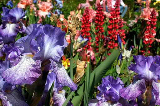 mother's day - schreiner's iris gardens - salem, oregon