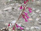 Close-up, Desert Penstemon 4/22