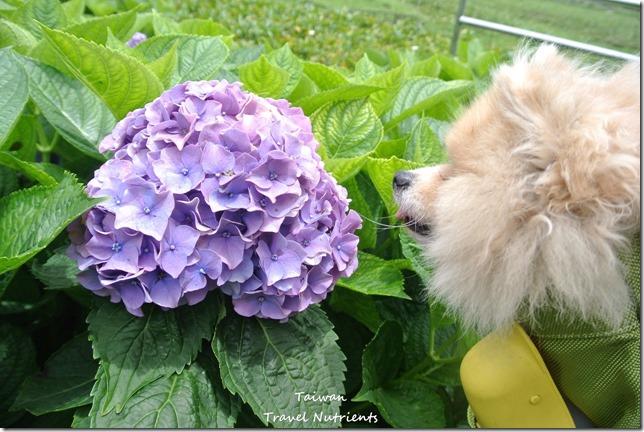 陽明山繡球花 (3)