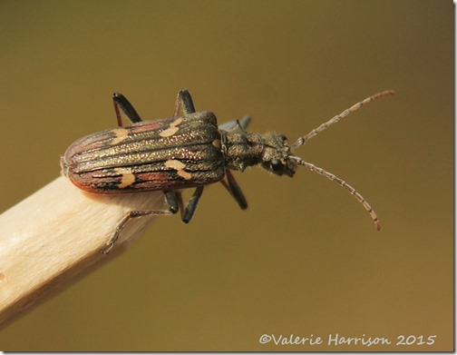 13-two-banded-longhorn