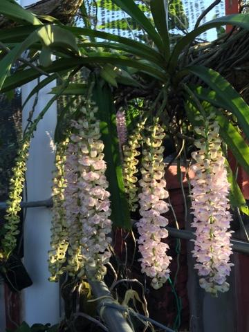 orkid, ekor tupai, retusa, hutan tropika, kantan, wangi