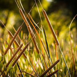 Cattail by Gannon McGhee - Nature Up Close Other plants ( sweetwater, park, wetlands, arizona, tucson, cattail )
