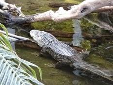 2015.04.27-031 alligators du Mississippi