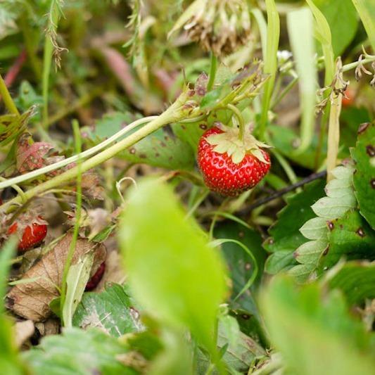 strawberry_picking-1-4