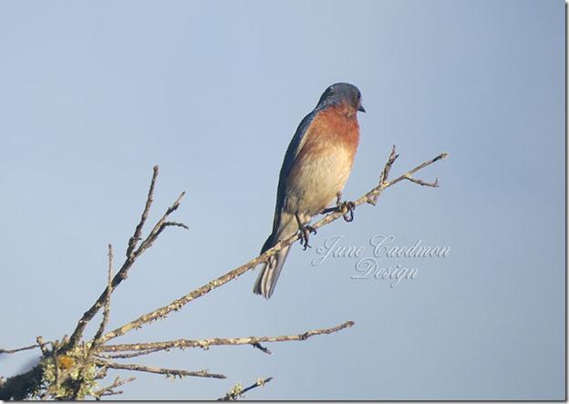 EasternBluebird2