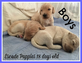Male Doodle puppies
