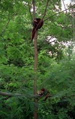 1992.07.07-104.09 pandas roux