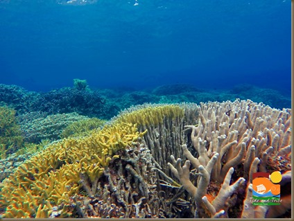 The corals of Pujada Bay, Mati