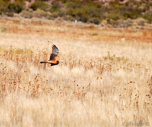 14. DSC_0209 NOHA Bosque del apache 2012-kab