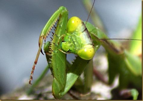 Mantis fb