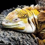 Iguana na Estação Darwin- Puerto Ayora, Santa Cruz - Galápagos, Equador