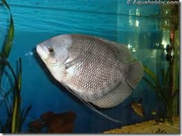 be-ca-canh-giant_gourami_cataituong003-be-thuy-sinh
