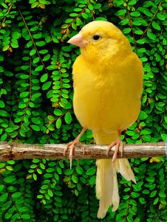 Kenari kuning