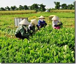 Nông dân trồng rau sạch thoát nghèo - Ảnh 2