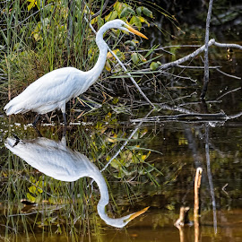 Great White Egret by Shutter Bay Photography - Animals Birds ( bird of prey, nature, waterscape, birds, great egret )