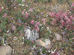 Fairy Dusters, flowers - AZ Trail 4/16