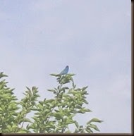 Indigo Bunting Sighted!