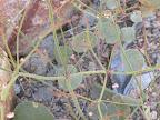 Skeleton Weed close-up 4/25