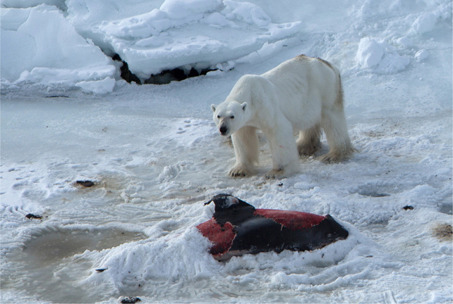 A male polar bear on the carcass of a white-beaked dolphin, 23 April 2014. The bear has started to cover the remains with snow. Just to the left of the dolphin is a hole in the ice, assumed to be a breathing hole that dolphins trapped in the ice have kept open. Photo: Aars, et al., 2015