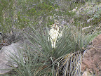 Blooming Yucca in Buehman Canyon 4/22