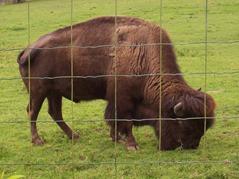 2007.08.09-016 bison d'Amérique