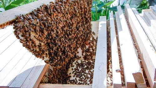 Honeybee Hive Inspection