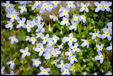 03a - Wildflowers - Thyme Leaved Bluet